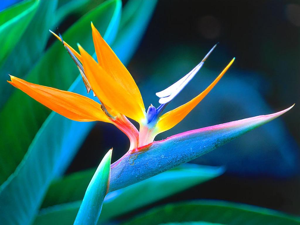 hoa thiên điểu