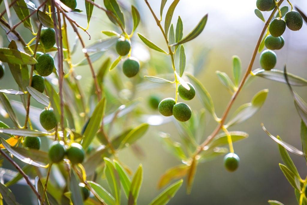 cây olive